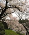 Sakura060401